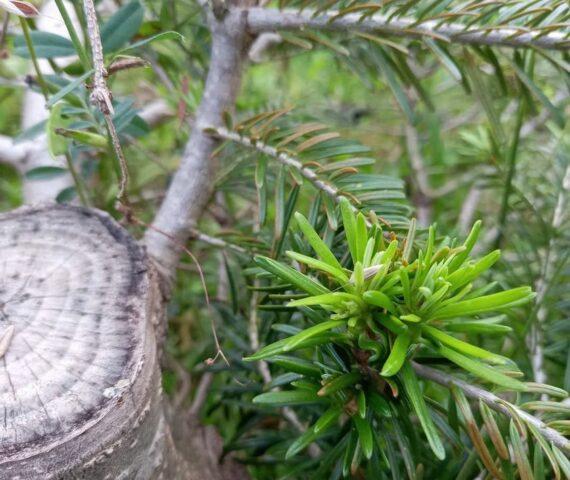 Cultiver des Sapins Bio, c'est aussi les faire repousser !